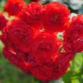 Photos: 真紅のバラの花束?