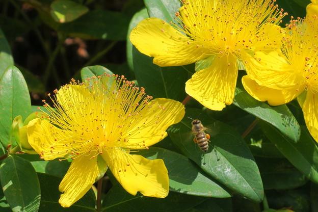 ヒペリカム・カリシナムにミツバチ