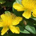 Photos: ヒペリカム・カリシナムにミツバチ