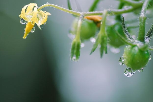 ミニトマト 黄色い花と緑の実