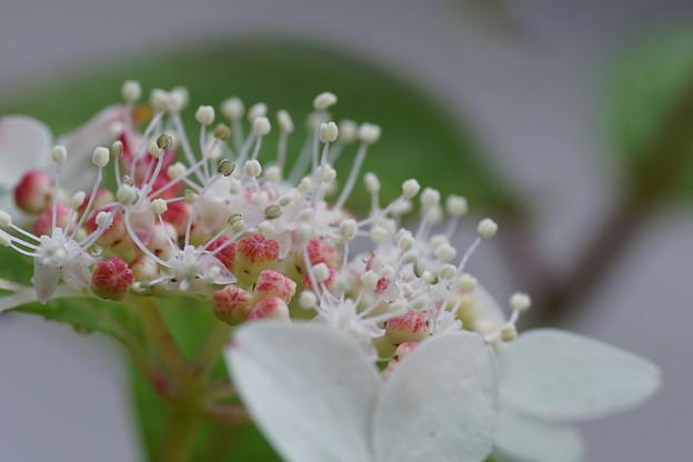 クレナイ (紅)の白い装飾花と両性花の赤い蕾