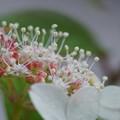 Photos: クレナイ (紅)の白い装飾花と両性花の赤い蕾