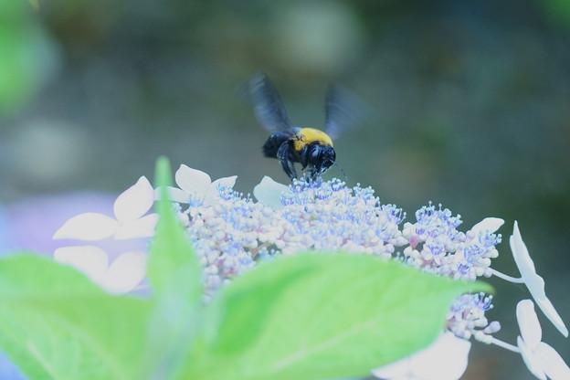 紫陽花にクマバチ(1)