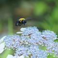 紫陽花にクマバチ(2)
