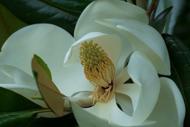 タイサンボク(1) 巨大な花