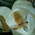 Photos: タイサンボク(1) 巨大な花