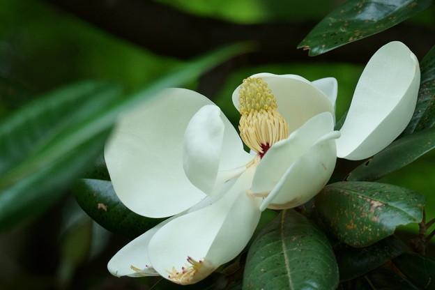 タイサンボク(2) 巨大な花