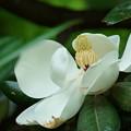 Photos: タイサンボク(2) 巨大な花