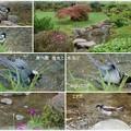 兼六園 曲水で 鳥さん水浴び