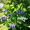 紫陽花・コンペイトウ