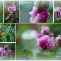 夏至にシクラメンが開花