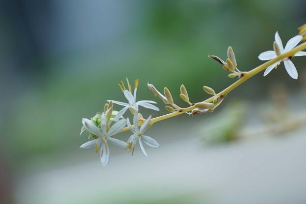 オリヅルランの小さな花