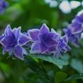 紫陽花と雨(1)
