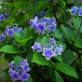 紫陽花と雨(2)