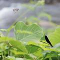ハグロトンボ 蝶