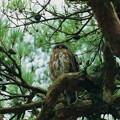 赤松の木にアオバズク