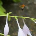 ギボウシ 花から花へ