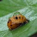 テントウムシの幼虫?(蛹)