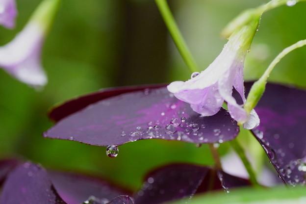 紫の舞 しずく