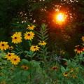 灼熱の夕日とルドベキア