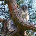 Photos: アオバズクのヒナ(2) 巣立ち