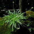オリヅルラン 花と子株
