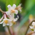 カラタチバナ(百両)の花