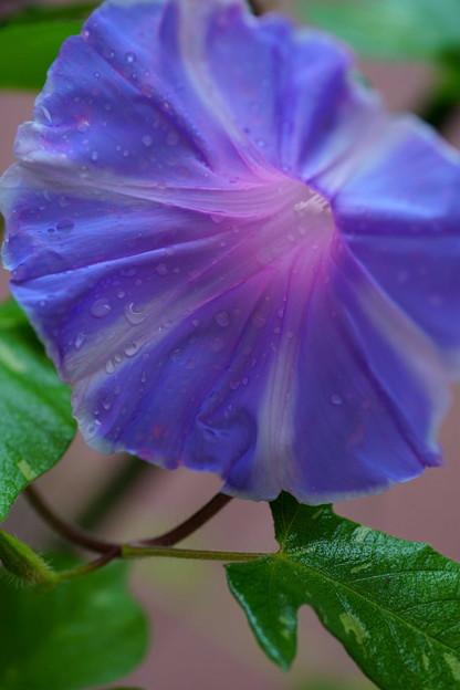 Photos: 朝顔    雨のしずく