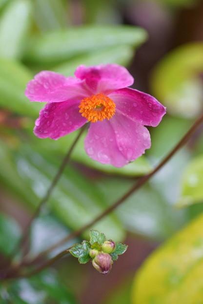 秋明菊が開花