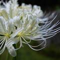 白いヒガンバナが開花(1)