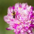 センニチコウに小さな蜂くん