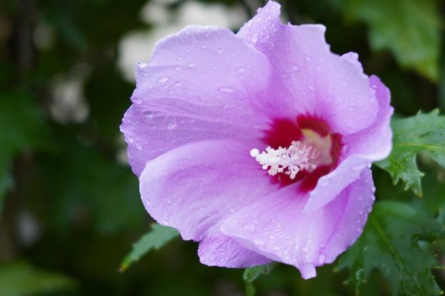 ピンクのムクゲ
