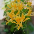 黄色いヒガンバナ(1)
