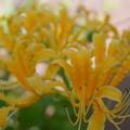 黄色いヒガンバナ (2)