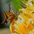 キアゲハ  黄色いヒガンバナに染まって