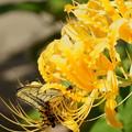 キアゲハと小さな蜂くん