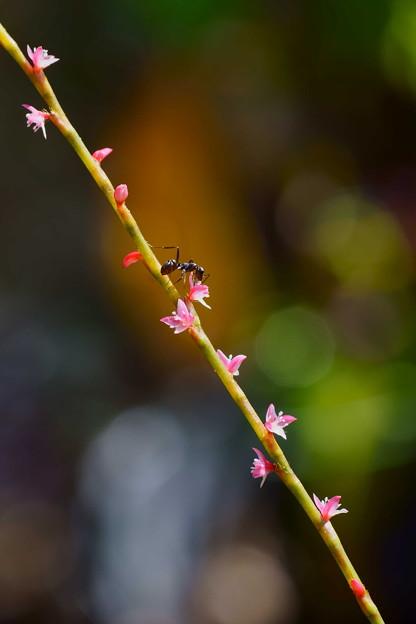 小さなミズヒキの花に小さなアリさん