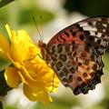 ツマグロヒョウモンの ♀ (1)