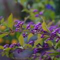 コムラサキ(小紫)