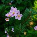 秋明菊と松