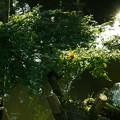 瓢池  モミジの木