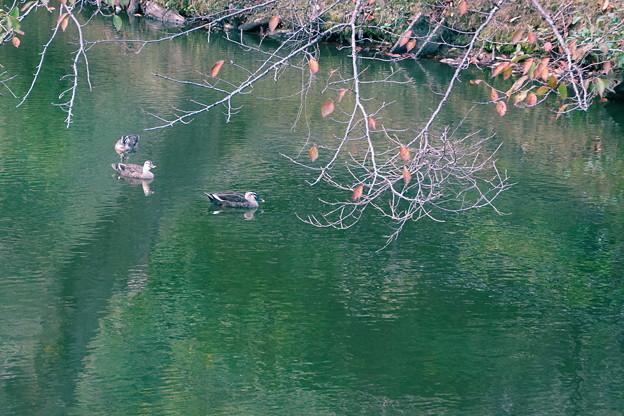 大池のカルガモ 仲良く