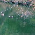 Photos: 大池のカルガモ 仲良く