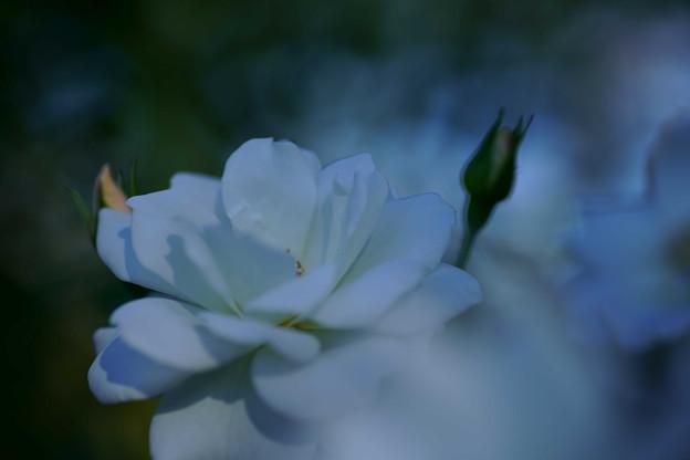 秋バラ 白