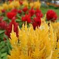 しいのき迎賓館の花壇  ケイトウ