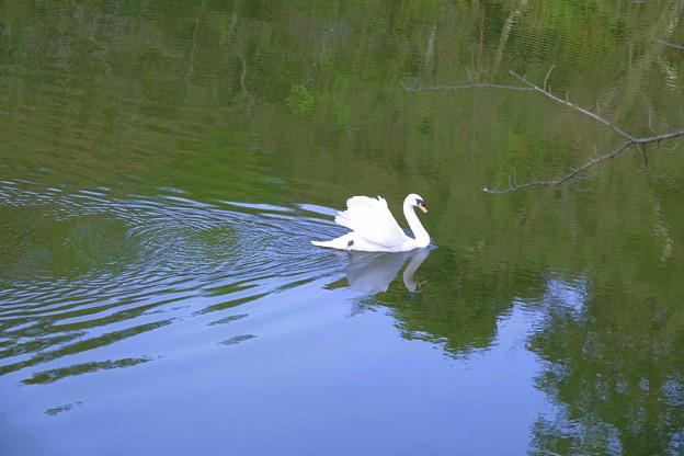 白鳥  優雅に