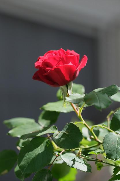 不明のバラ(イングリッドバーグマン?) 20210419