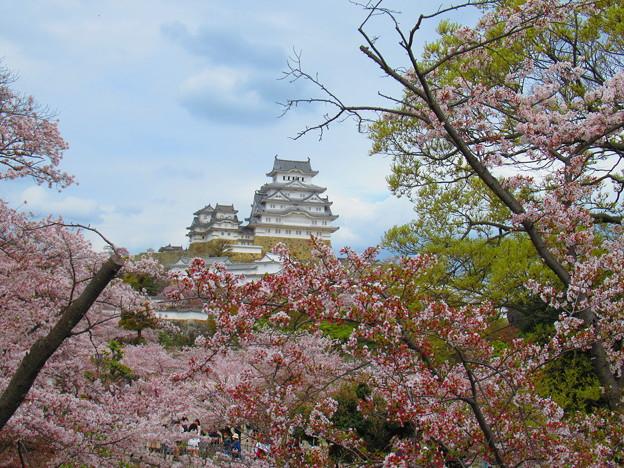 姫路城と桜
