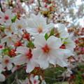 Photos: 葉桜2