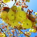 黄緑色の八重桜